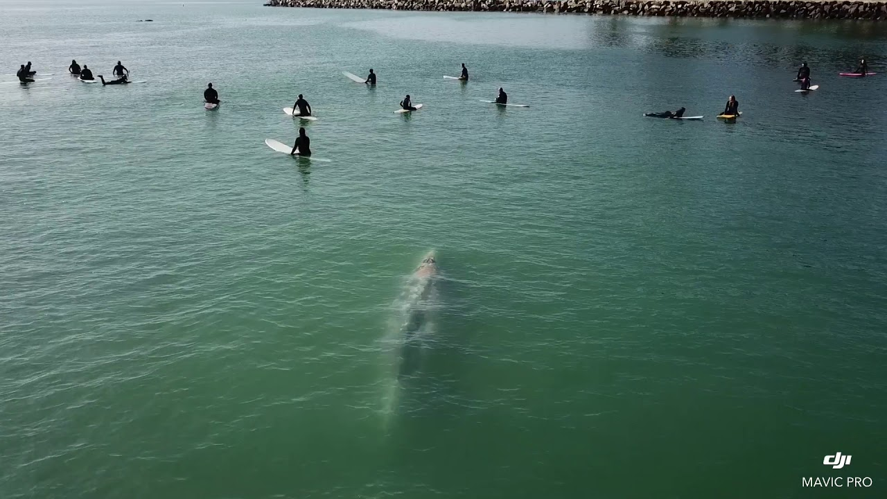 Whale Swims Beneath Group of Surfers Off Southern California Coast