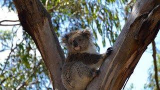 Philip Island Surfing, Koalas, Penguins & More, Overland Australia Series, Episode 184