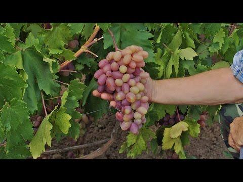 форум виноград виноградарство, виноделие, сорта винограда