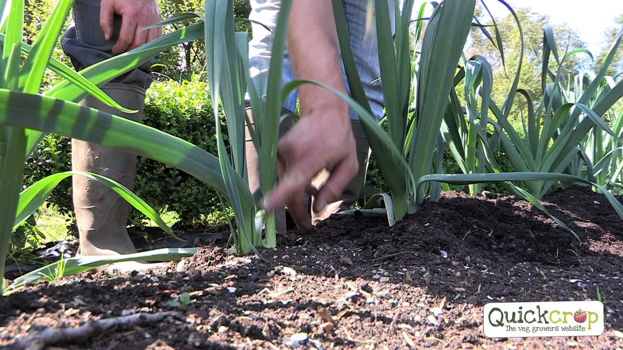 Ganz und zu Extrem Lauch pflanzen - erntefibel.de &TF_03