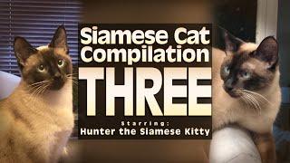 Siamese Cat Compilation THREE