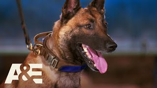 K9 German Shepherds Bowie & Pele Compete for the Win | America's Top Dog (Season 1) | A&E