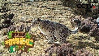 [正大综艺·动物来啦]冬季时雪豹在野外一般可以保持多久不进食| CCTV