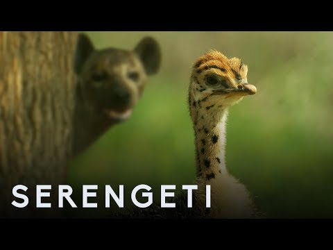Ostrich Vs Zalika the Hyena | Serengeti: Story Told by John Boyega | BBC Earth