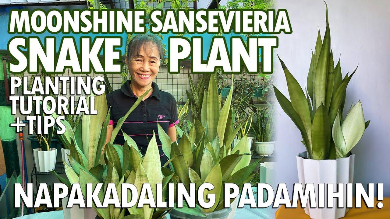 NAPAKAGANDANG MOONSHINE SNAKEPLANT! PAANO PADAMIHIN? NAPAKADALI LANG! | Haydees Garden