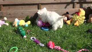 Little Rascals Uk Breeders New Litter Of Pedigree Westie Puppies