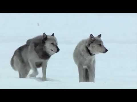 Animal Planet Valley of the Wolf Documentary