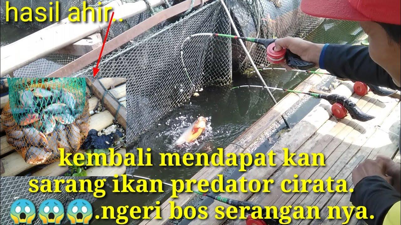 Serangan ikan predator Cirata,,bikin joran ku amburadul//Mancing mania//mancing liar.