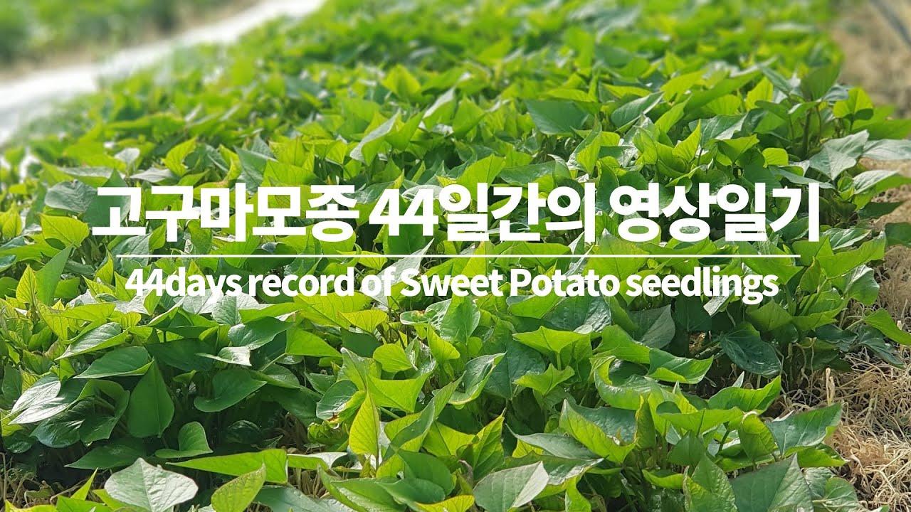 씨고구마에서 싹 틔우기까지 44일간의 기록/44days record of Potato seedlings