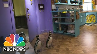 Penguins Visit The 'Friends' Set | NBC News NOW