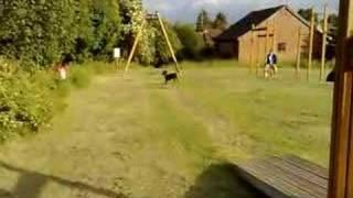 Staff Dog On The Death Slide