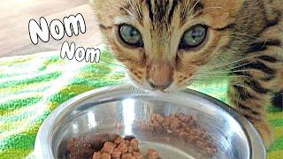 Bengal Kitten makes Funny Noises While She Eats