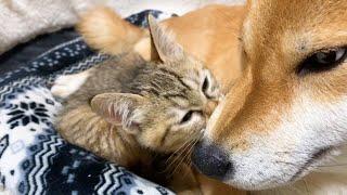 子猫が初の柴犬の柴ふ体験?! Kitten relaxes near Shiba Inu