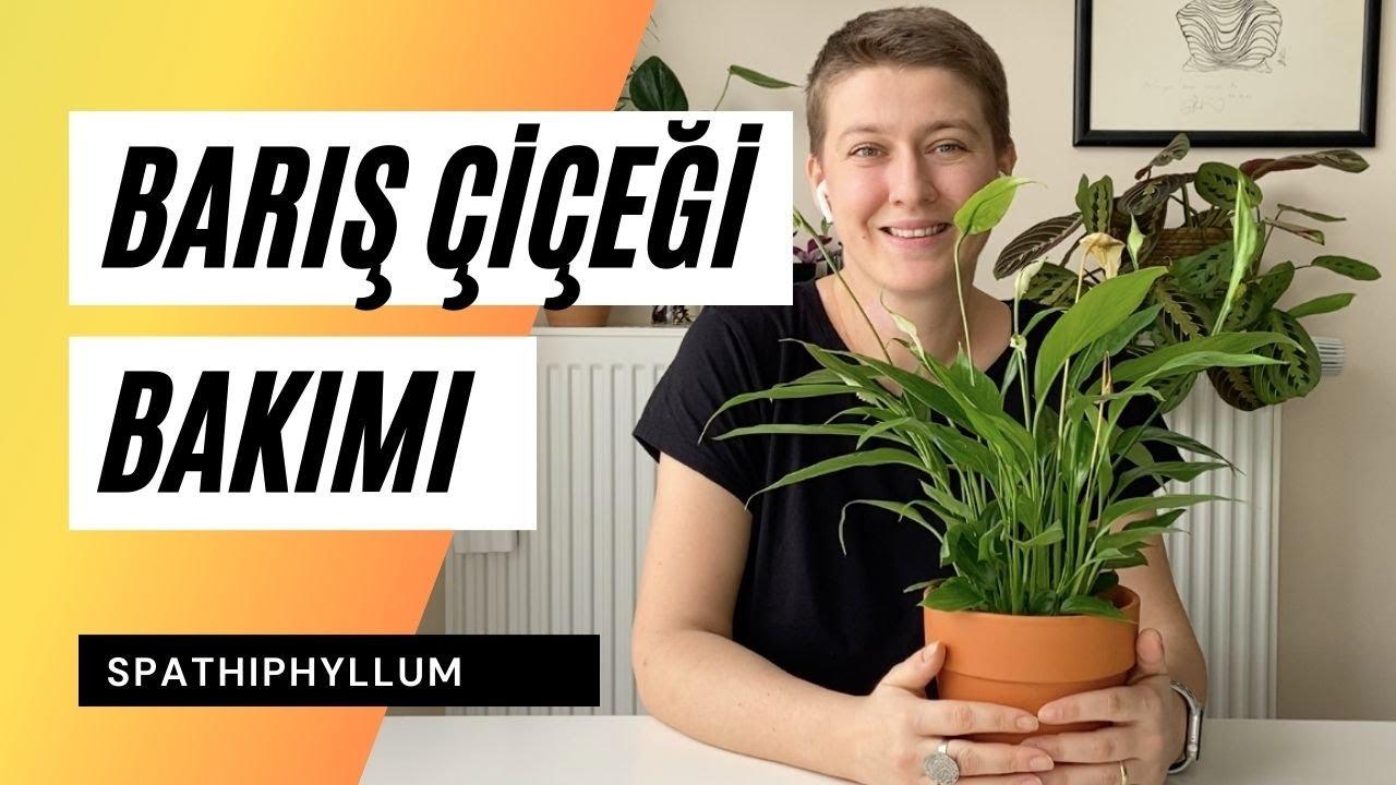 Barış Çiçeği / Spathiphyllum Bakımı Nasıl Olmalı? 👩🌾  Ev Yeşili