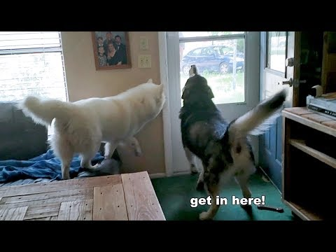 Excited Snow Dogs Reunited With Best Friend (Pitbull)