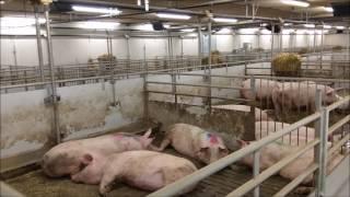 Modern Danish Pig farm - Søren Andersen