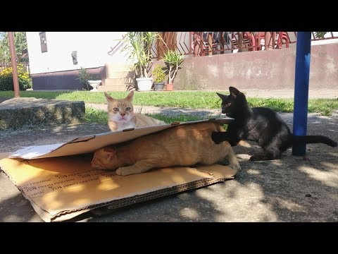 Curious Cats Simply Can't Resist Cardboard Box