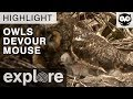 Long Eared Owl Chicks Devour an Entire Mouse - Live Cam Highlight
