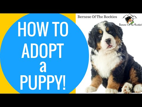 How To Adopt A Puppy? | Bernese Of The Rockies