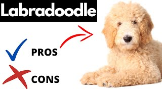 Labradoodle Pros And Cons | The Good AND The Bad!!