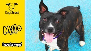 Milo is a Super Happy, Playful Staffordshire Bull Terrier! | Dogs Trust Manchester