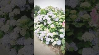 今時期しか咲かない紫陽花 成田山へ行く途中たくさんの紫陽花を見て癒さ...