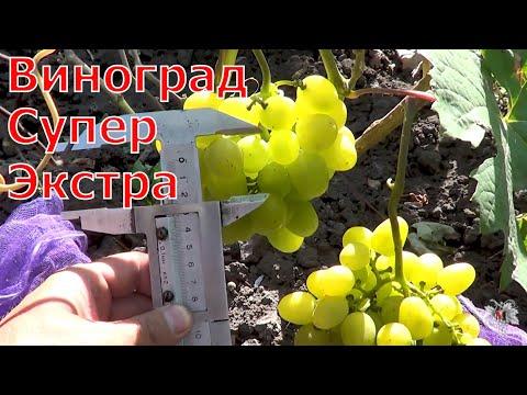 Сорта винограда. Супер Экстра. Виноград 2014.