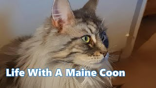Life with a Maine Coon