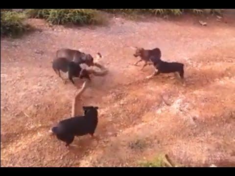 Hãi hùng Team chó combat Rắn Hổ Mang =))