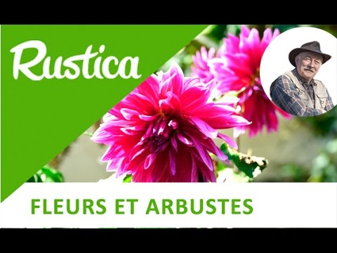 arracher et diviser les dahlias - youtube