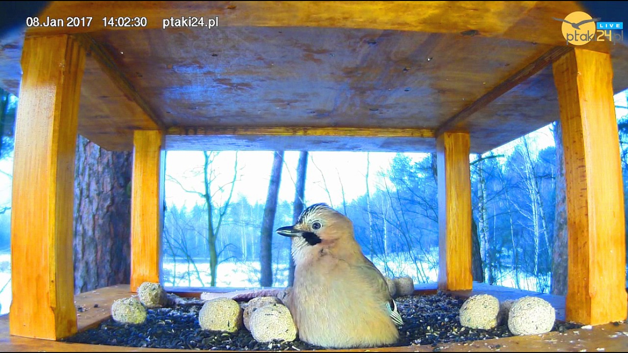 Dziwna Sójka w karmniku dla ptaków w lesie na Podkarpaciu