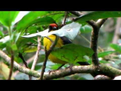 endemic -Yariguies Brush-finch - Atlapetes latinuchus yariguierum -birding bogota