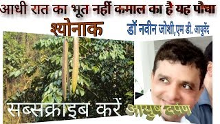 Medicinal importance of Shyonak Tree / Oroxylum Indicum/ Indian Trumpet