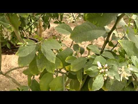 أشجار الفاكهة الناجحة في الكويت - Gulf Plants