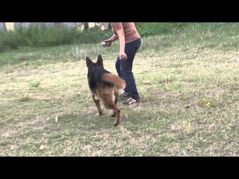 GSDV - Huấn luyện berger vượt chướng ngại vật, nhảy vượt rào - P1 - 11/04/2011