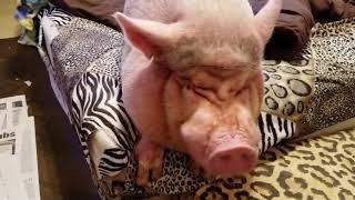 "FULL MONDAY MORNING "" MINI PIG "" ROUTINE 💖 SAMMY DOESN"