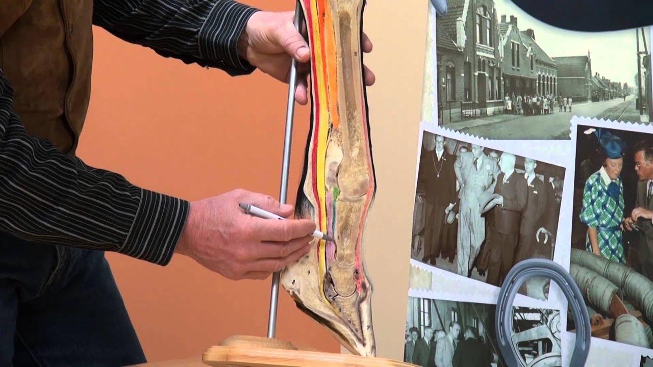 Footpro Info Series Anatomy Of The Equine Hoof Lower Limb Part 2