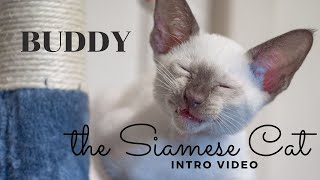 Buddy, the Siamese Cat