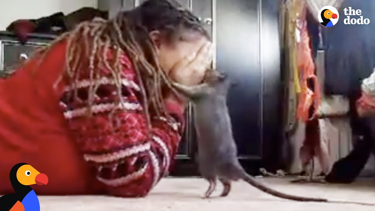Cute Rat Loves Playing Peekaboo With Mom | The Dodo