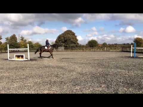 Europop 6yr old Irish Sports Horse