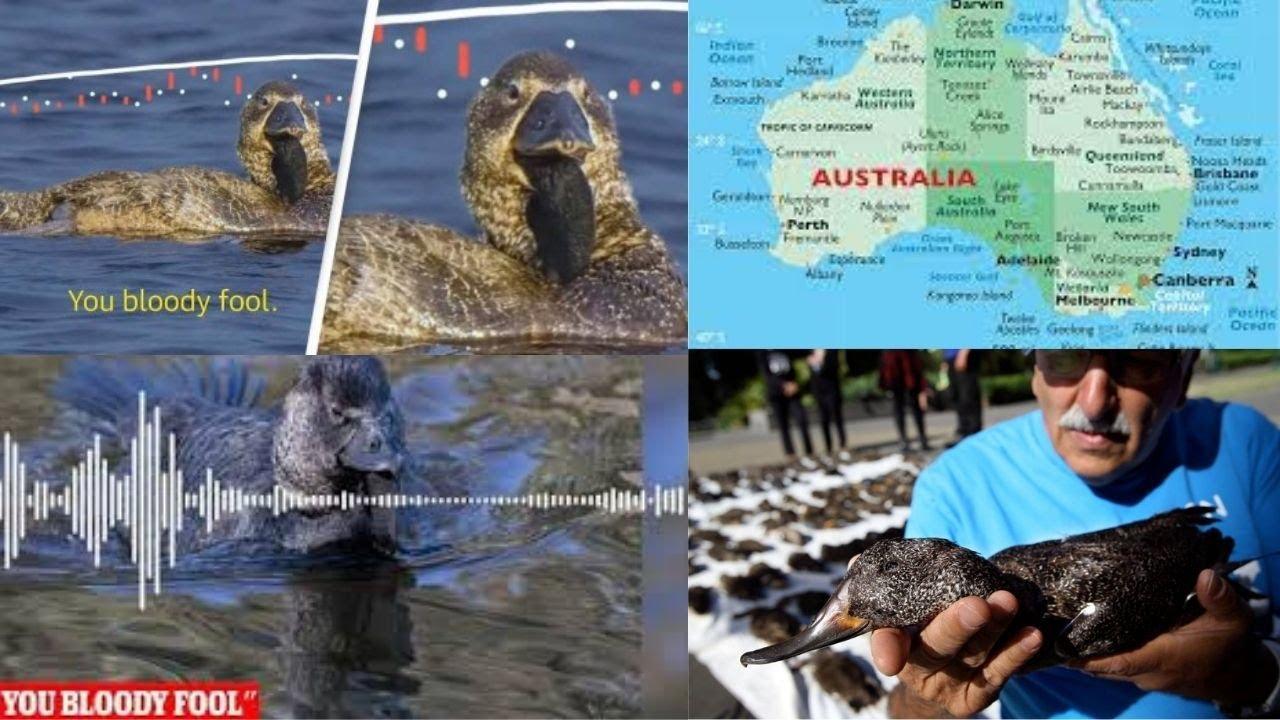 Duck in Australia imitates human speech, says 'you bloody fool'; audio released