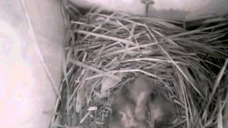 Веб-камера в скворечнике. Видео от 17 мая. Часть 2.