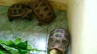 Video | Nhung chu rua nui vang quy hiem cua mr DINH TIEN DUNG dung s moutain tortoise | Nhung chu rua nui vang quy hiem cua mr DINH TIEN DUNG dung s moutain tortoise