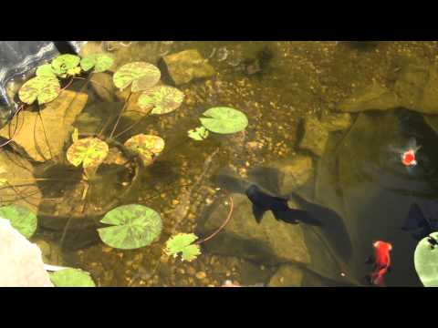 Guppys und goldfische im gartenteich doovi for Gartenteich mit goldfischen