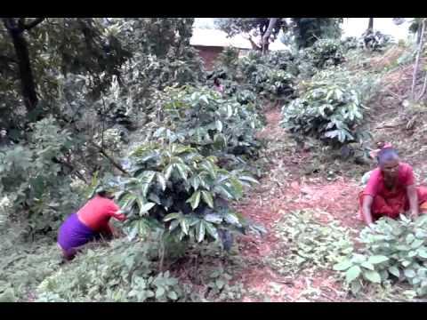 Himalaya ontop organic coffee farm Nepal.