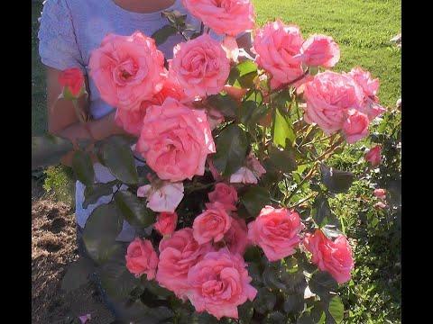 Цветущие, Зимостойкие розы. Питомник Роз Елены ИВАЩЕНКО