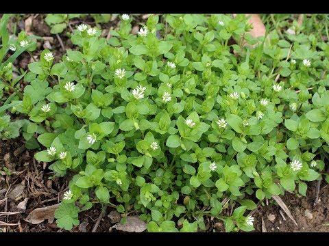 Мокрица - супер растение для здоровья, красоты и долголетия