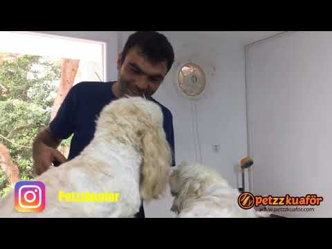 Maltese Terrier Makine TıraşıGökhan Ak Terrier Makine Tıraşı