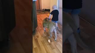 Собака убийца и двухлетний малыш