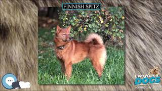 Finnish Spitz  Everything Dog Breeds